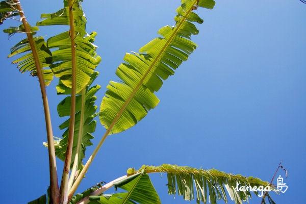 庭の芭蕉と空