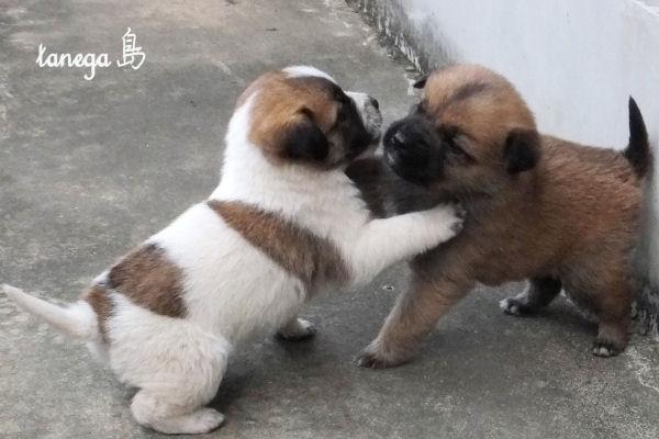 じゃれ合う仔犬
