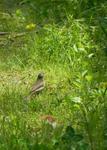 ハクセキレイの幼鳥