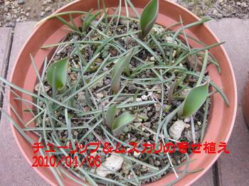 チューリップとムスカリの寄せ植え