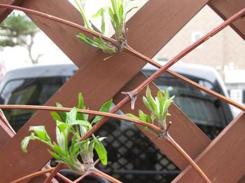 クレマチス(テッセン)の枝