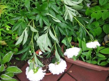 >2013.06.27撮影:雨にうたれたシャクヤク