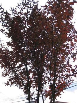 秋の庭 シャラの木