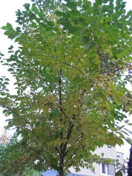 秋の庭 エゴの木