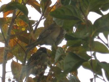mukuの庭 エゴの木に止まる雀