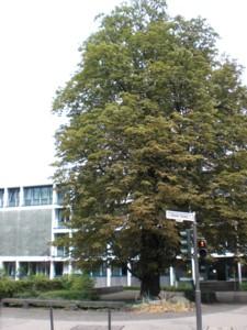 rosskastanienbaum.jpg