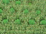 34_08_Cannabis_Mais-Pflanzen2.jpg