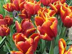 tulpenl.jpg