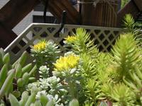 spathulifolium_1.jpg