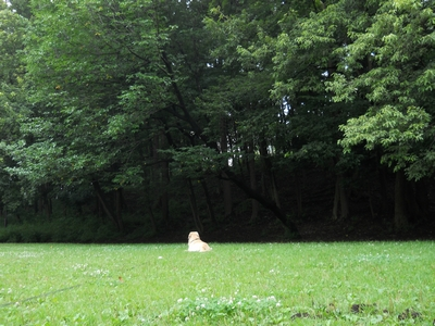 [広々した公園でひとり和むゴールデンレトリバー、カイザー]