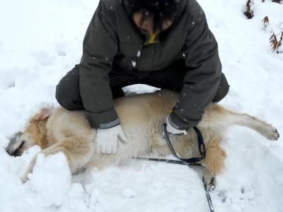 雪に埋もれて遊ぶゴールデンレトリバー、カイザー皇帝
