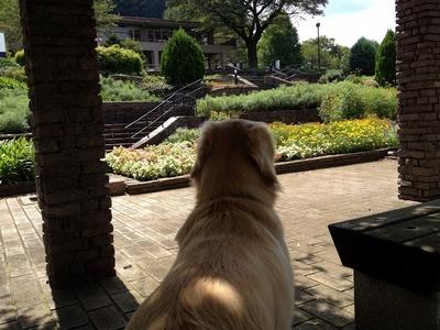 ゴールデンレトリバー、カイザー皇帝@津久井湖城山公園、花の苑地