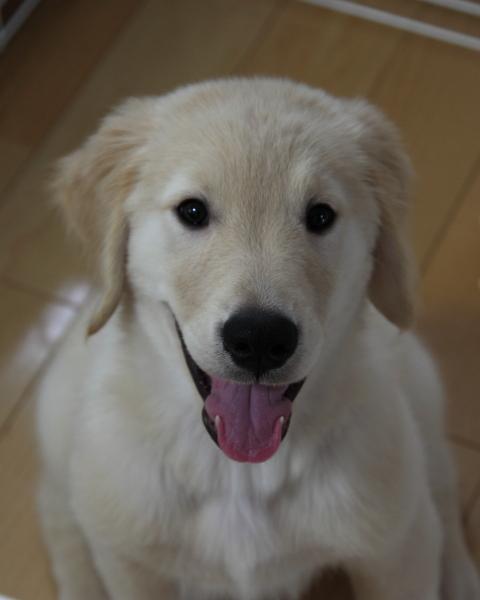 幼犬時代のゴールデンレトリバー、カイザー(仮名)
