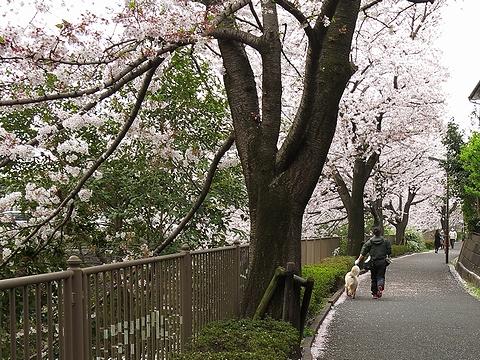 ゴールデンレトリバー、カイザー皇帝と下僕2、桜満開の恩田川自転車歩行者道路を疾走
