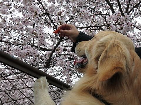 ゴールデンレトリバー、カイザー皇帝、花よりジャーキー@2013年春のお花見