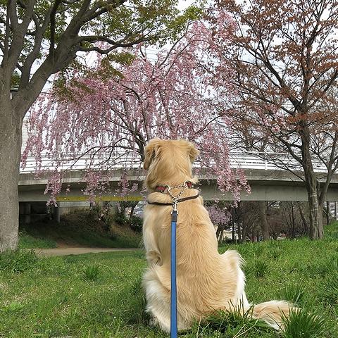 ゴールデンレトリバー、カイザー皇帝と2013年春のお花見@桜の散歩道(南町田-つきみ野)