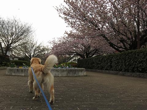 ゴールデンレトリバー、カイザー皇帝と2013年春のお花見@桜の散歩道(つきみ野-東林間)