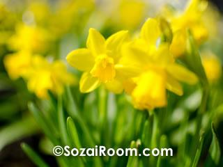 黄色いミニ水仙