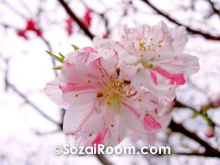源平咲の花桃