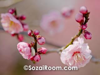 ピンク色のポンポン梅・蓮久