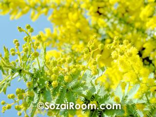 ミモザの黄色い花