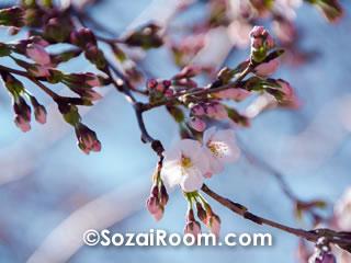 二分咲きの桜