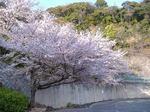 駐車場の桜。