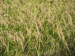 黄金色に光っている稲