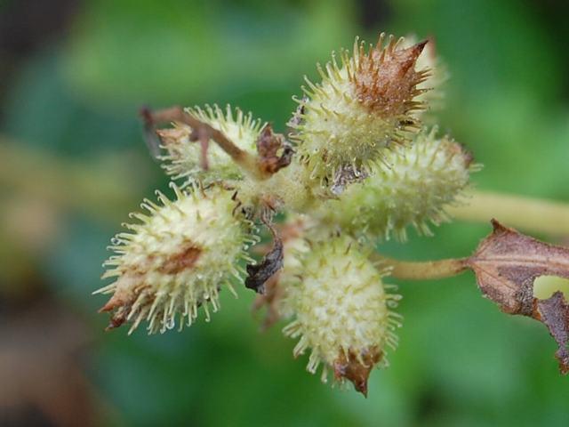 オナモミの画像 p1_37