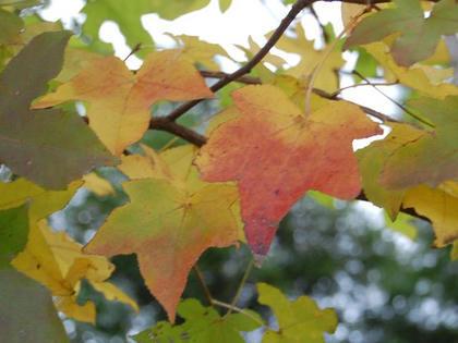 アメリカ楓(アメリカフウ)