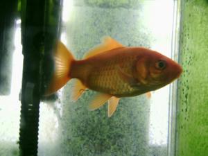 金魚。名前はまだない。