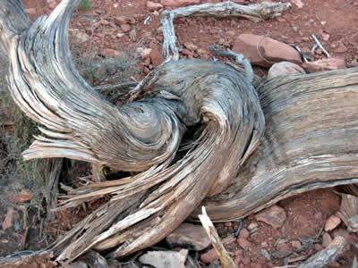 セドナ ネジ曲がったジュニパーの木 02