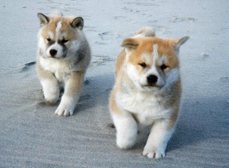 砂浜と秋田犬の子犬