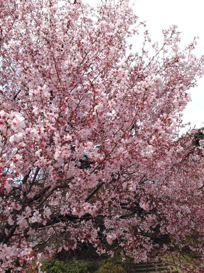 が 咲い 桜 て いる 様子 たくさん