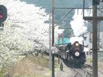 桜満開大井川鉄道