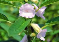 太田道灌陣屋付近の畑に咲いていたゴマの花