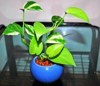 順調に生育している瀬戸鉢のポトス