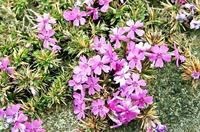 早咲きのシバザクラ