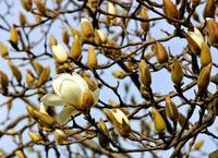 早咲きのハクモクレン