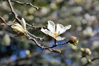 春の訪れを告げるコブシの花