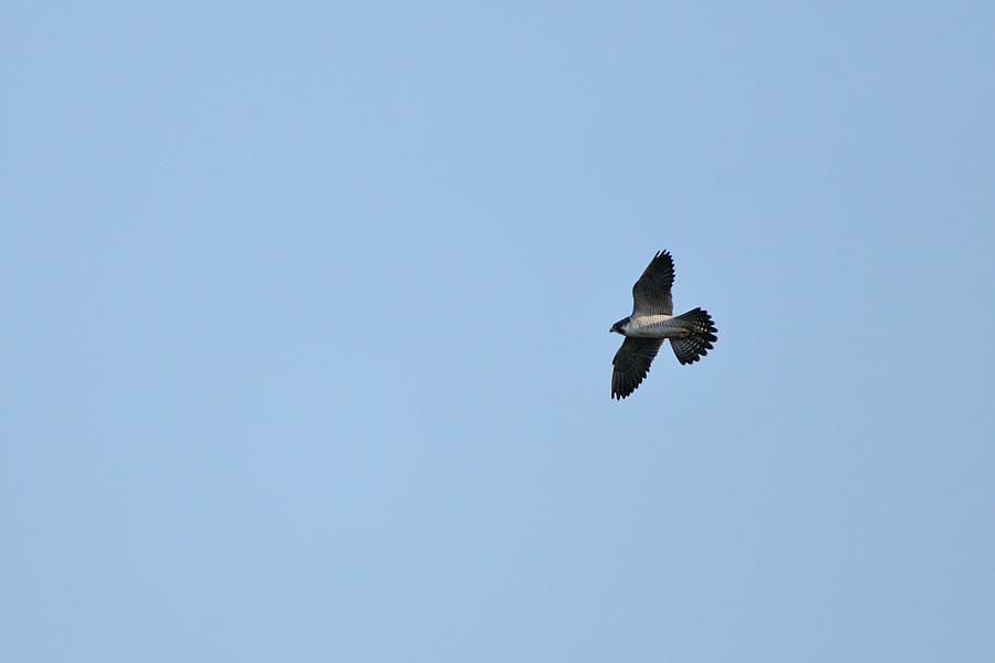 南港野鳥園上空に現れたハヤブサ