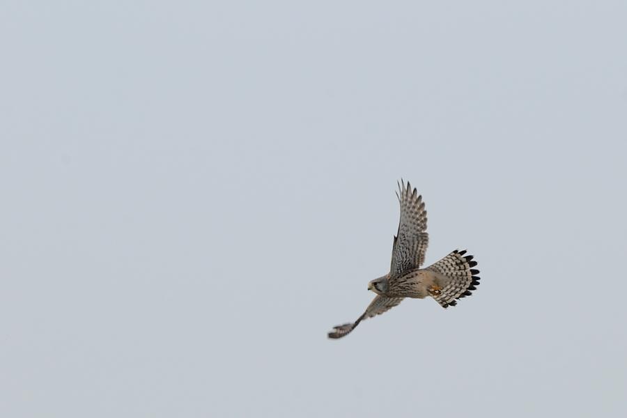 チョウゲンボウ第一回冬羽