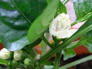 パプリカ開花