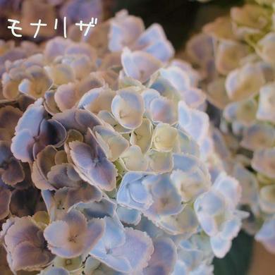 紫陽花 モナリザ