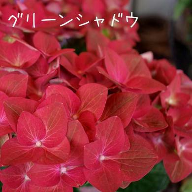 紫陽花 グリーンシャドウ