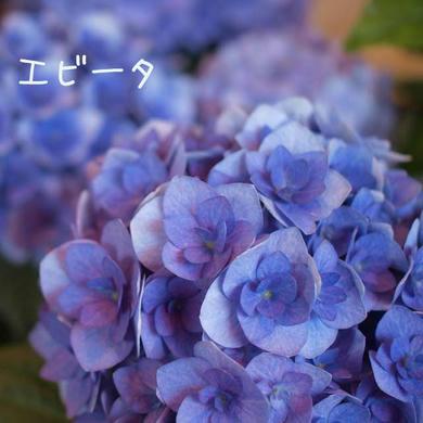 紫陽花 エビータ