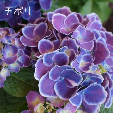 紫陽花 チボリ