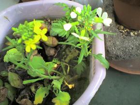 かぶと大根の花