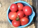 ハウスで収穫したトマトです。