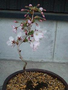 桜の盆栽♪